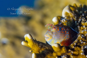 Smiling Blenny, Isla Lobos Mexico by Alejandro Topete 